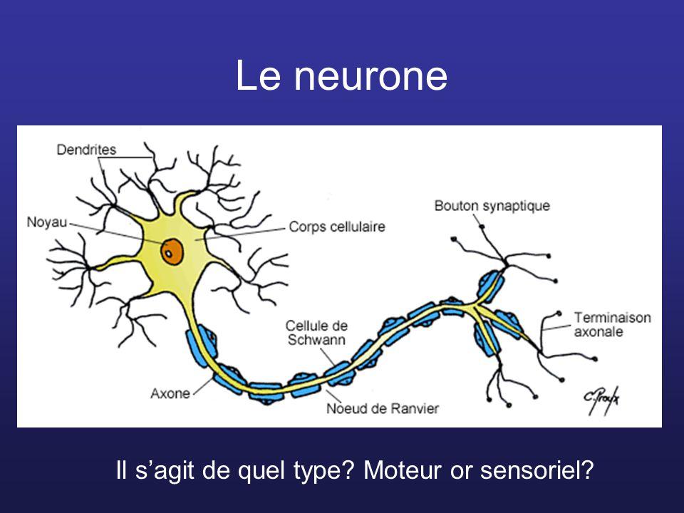 Le neurone Il sagit de quel type? Moteur or sensoriel?