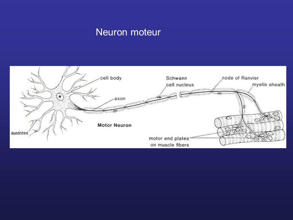 Neuron moteur