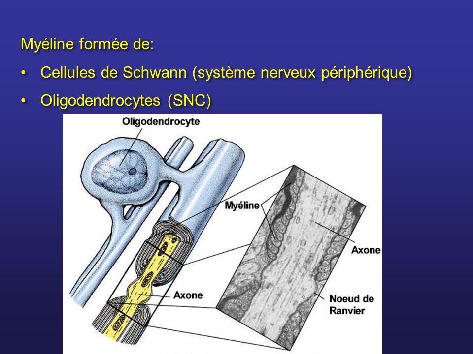 Myéline formée de: Cellules de Schwann (système nerveux périphérique) Oligodendrocytes (SNC) Myéline formée de: Cellules de Schwann (système nerveux p