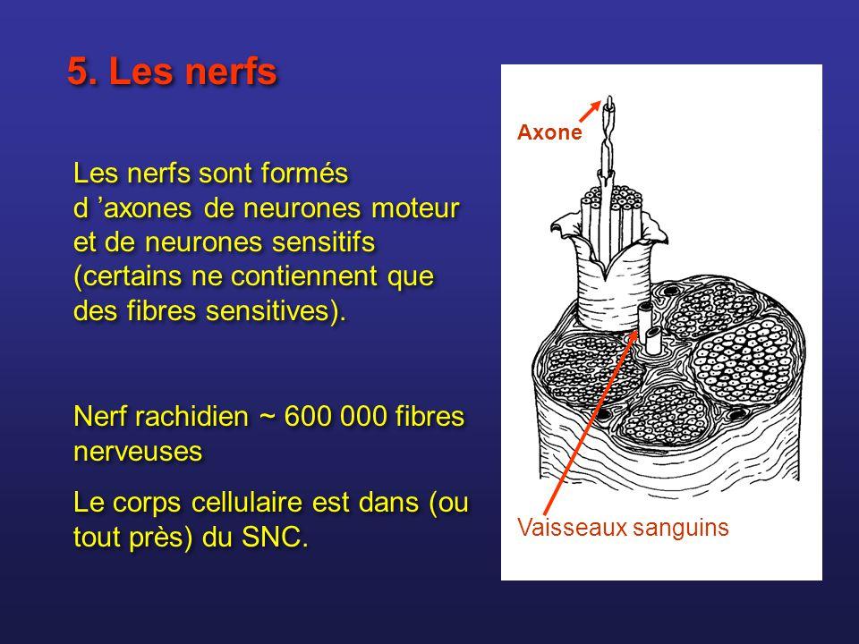 5. Les nerfs Les nerfs sont formés d axones de neurones moteur et de neurones sensitifs (certains ne contiennent que des fibres sensitives). Nerf rach