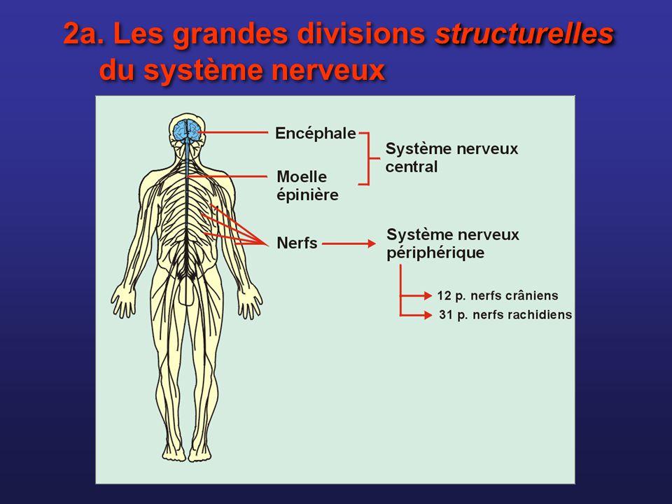 2b. Les grandes divisions fonctionnelles du système nerveux Voies afférentes Voies efférentes