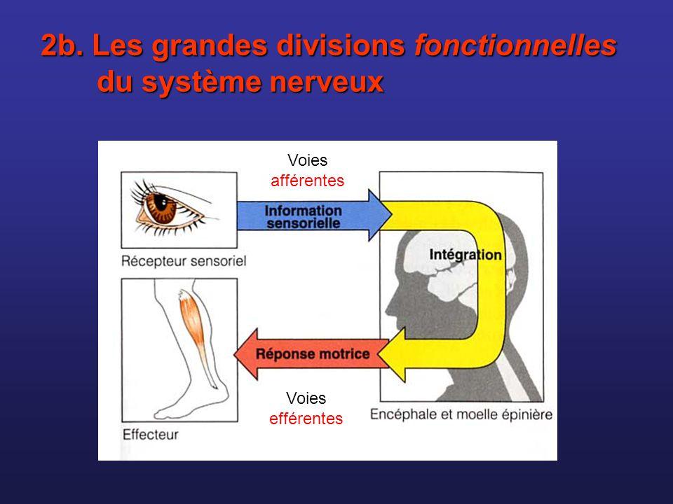 Espaces entre les cellules de Schwann = nœuds de Ranvier Espaces entre les cellules de Schwann = nœuds de Ranvier