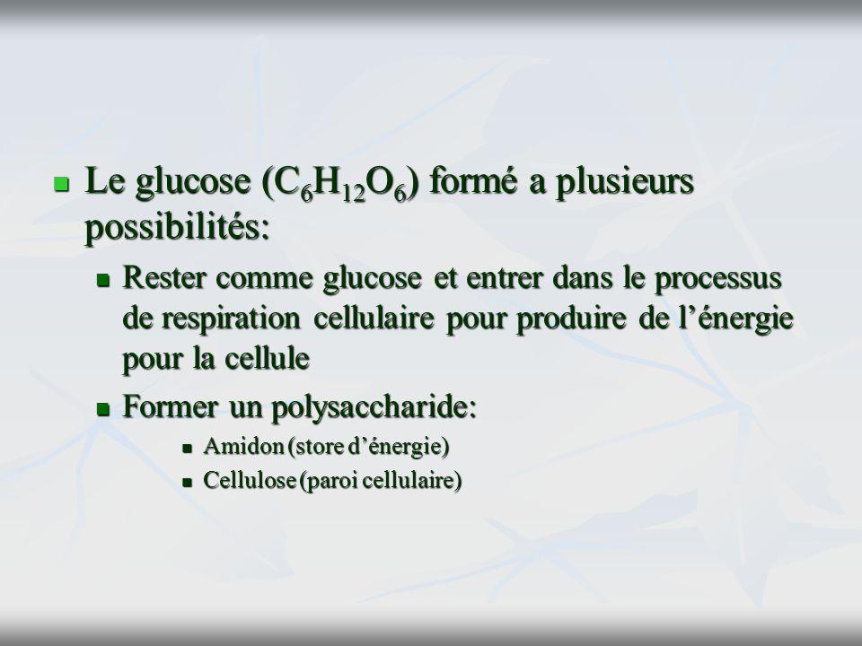 Le glucose (C 6 H 12 O 6 ) formé a plusieurs possibilités: Le glucose (C 6 H 12 O 6 ) formé a plusieurs possibilités: Rester comme glucose et entrer d