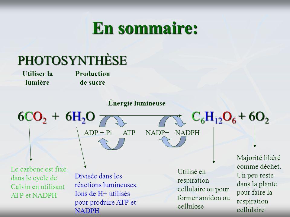 En sommaire: PHOTOSYNTHÈSE 6CO 2 + 6H 2 OC 6 H 12 O 6 + 6O 2 Utiliser la lumière Production de sucre Énergie lumineuse Le carbone est fixé dans le cyc