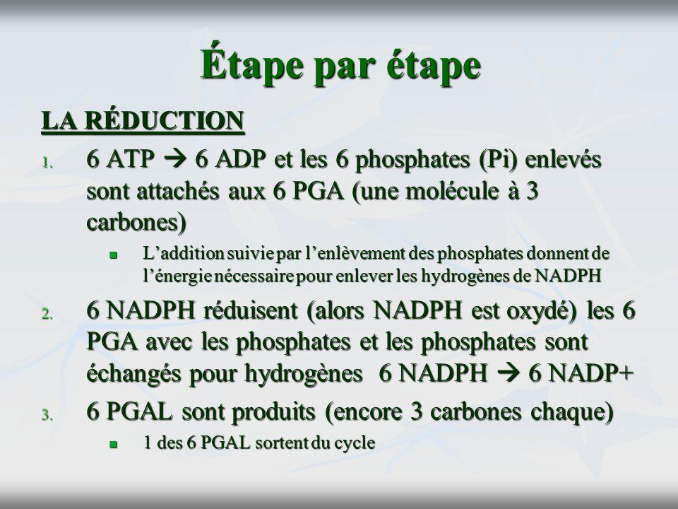 Étape par étape LA RÉDUCTION 1. 6 ATP 6 ADP et les 6 phosphates (Pi) enlevés sont attachés aux 6 PGA (une molécule à 3 carbones) Laddition suivie par