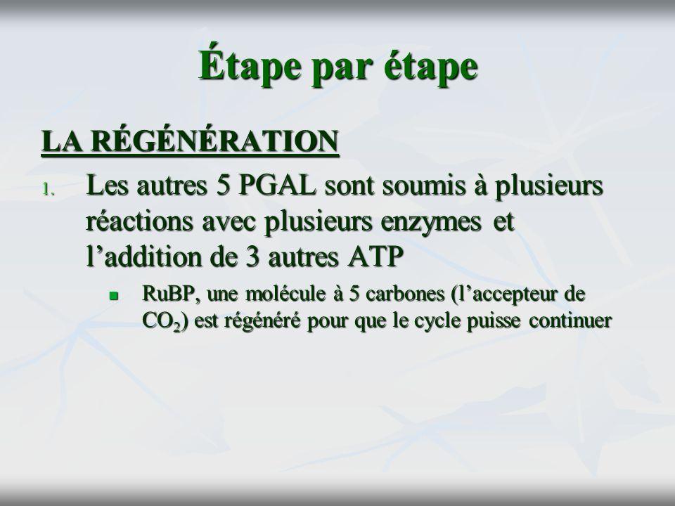 Étape par étape LA RÉGÉNÉRATION 1. Les autres 5 PGAL sont soumis à plusieurs réactions avec plusieurs enzymes et laddition de 3 autres ATP RuBP, une m