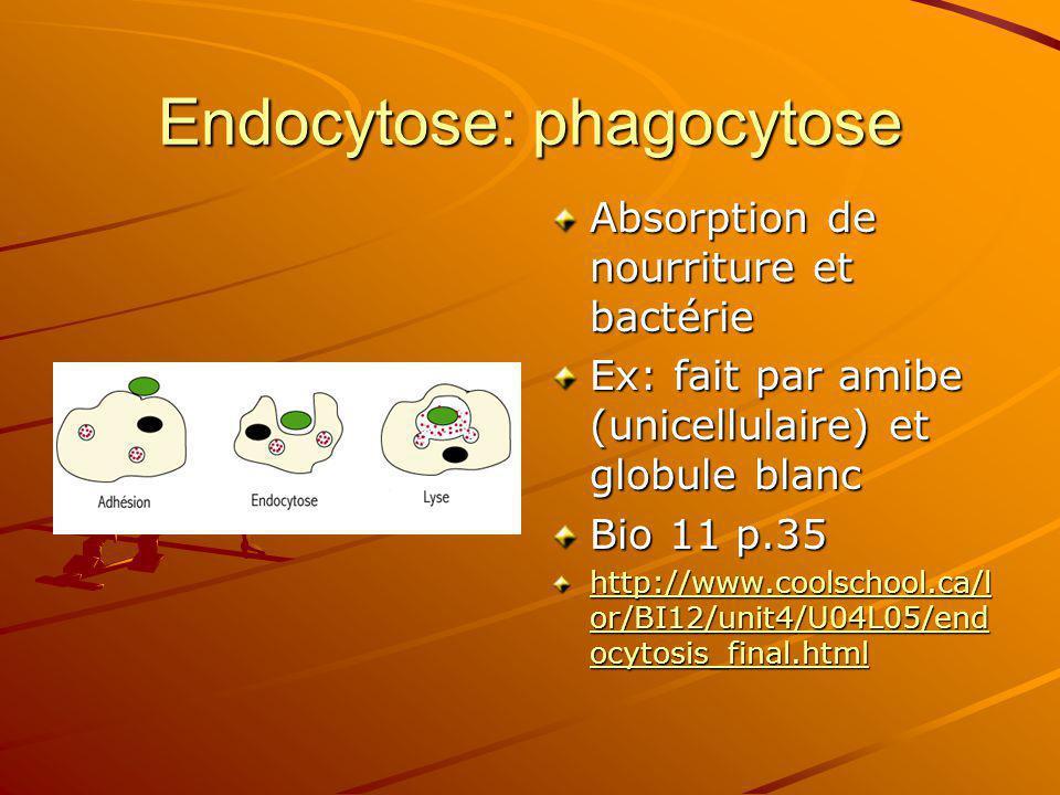 Endocytose: phagocytose Absorption de nourriture et bactérie Ex: fait par amibe (unicellulaire) et globule blanc Bio 11 p.35 http://www.coolschool.ca/