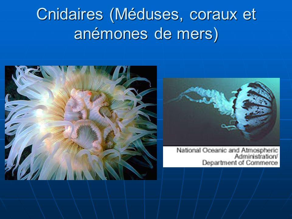 Cnidaires (Méduses, coraux et anémones de mers)