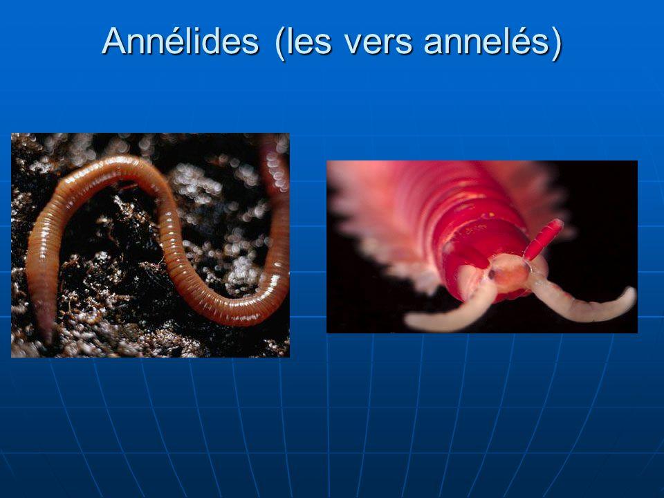 Annélides (les vers annelés)
