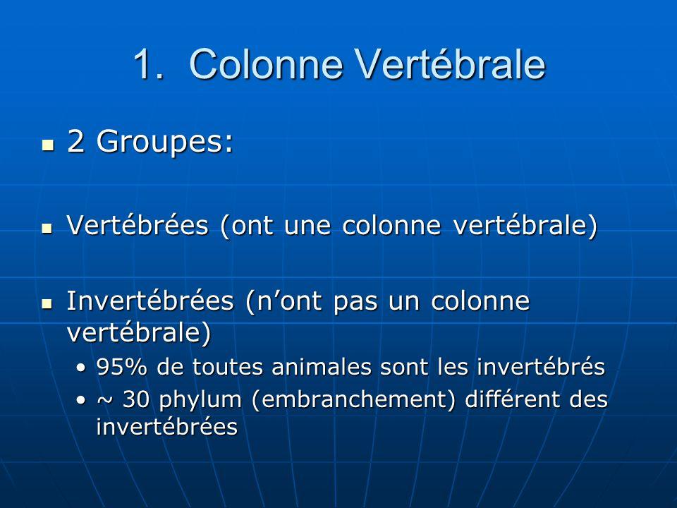 1. Colonne Vertébrale 2 Groupes: 2 Groupes: Vertébrées (ont une colonne vertébrale) Vertébrées (ont une colonne vertébrale) Invertébrées (nont pas un