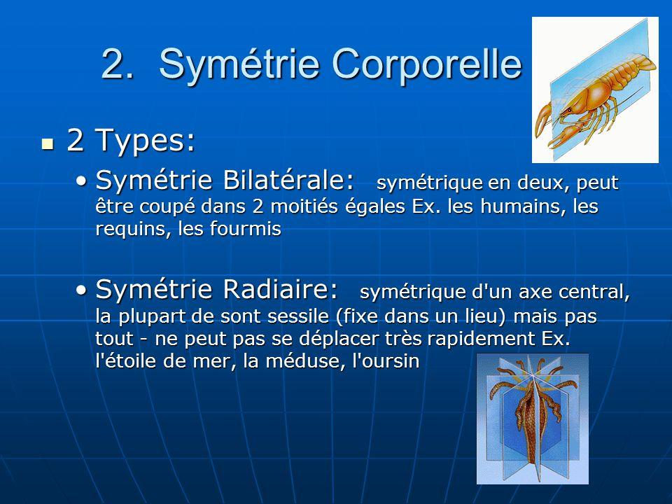 2. Symétrie Corporelle 2 Types: 2 Types: Symétrie Bilatérale: symétrique en deux, peut être coupé dans 2 moitiés égales Ex. les humains, les requins,