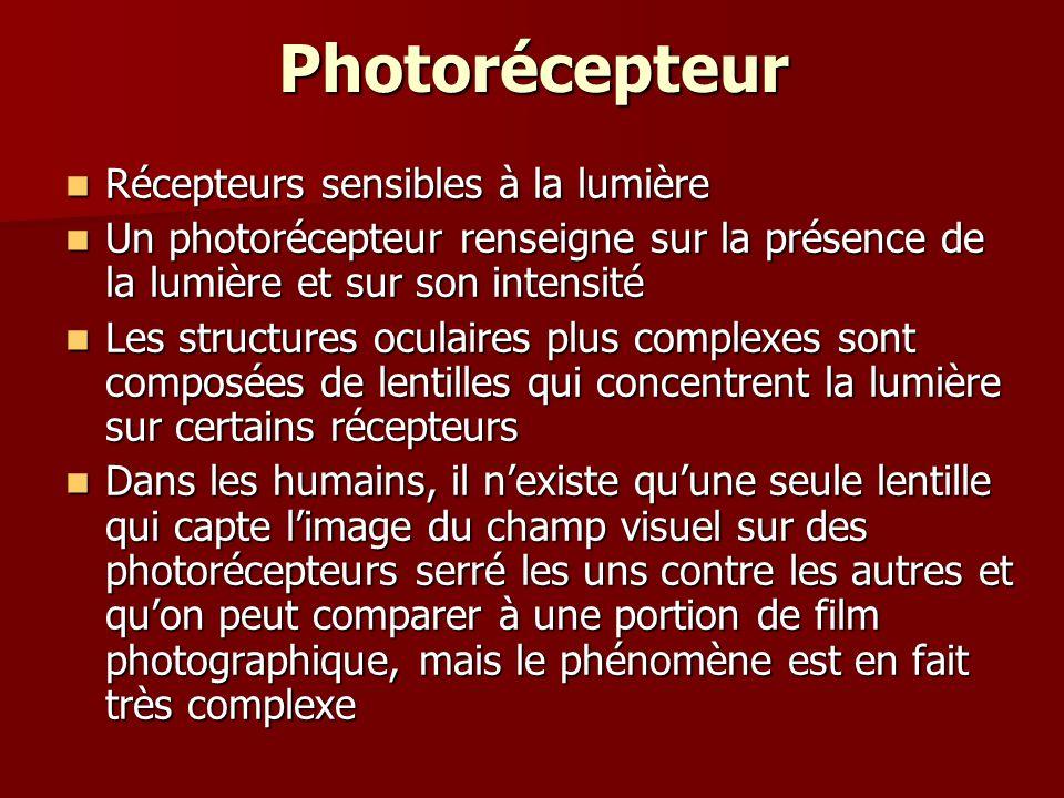 Photorécepteur Récepteurs sensibles à la lumière Récepteurs sensibles à la lumière Un photorécepteur renseigne sur la présence de la lumière et sur so