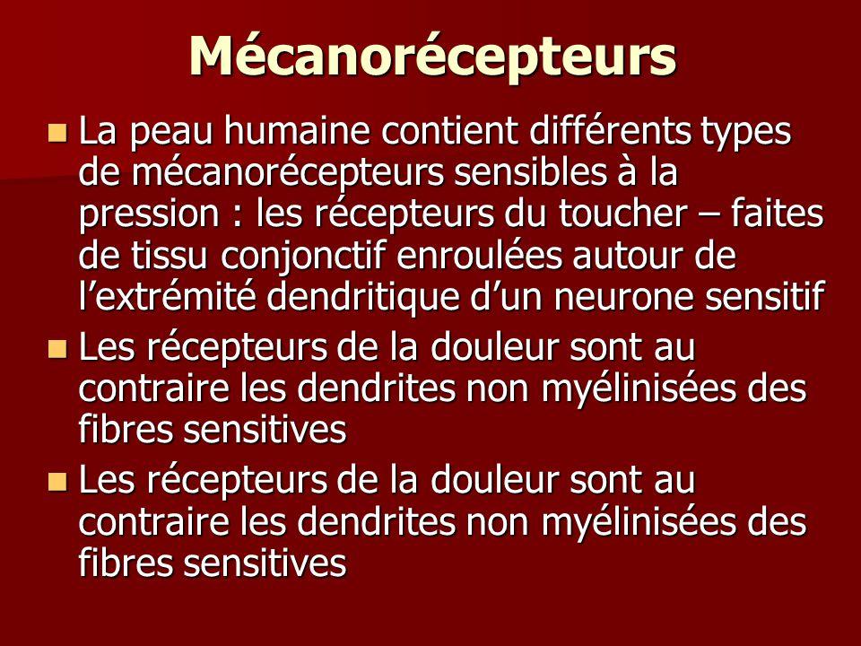 Mécanorécepteurs La peau humaine contient différents types de mécanorécepteurs sensibles à la pression : les récepteurs du toucher – faites de tissu conjonctif enroulées autour de lextrémité dendritique dun neurone sensitif La peau humaine contient différents types de mécanorécepteurs sensibles à la pression : les récepteurs du toucher – faites de tissu conjonctif enroulées autour de lextrémité dendritique dun neurone sensitif Les récepteurs de la douleur sont au contraire les dendrites non myélinisées des fibres sensitives Les récepteurs de la douleur sont au contraire les dendrites non myélinisées des fibres sensitives