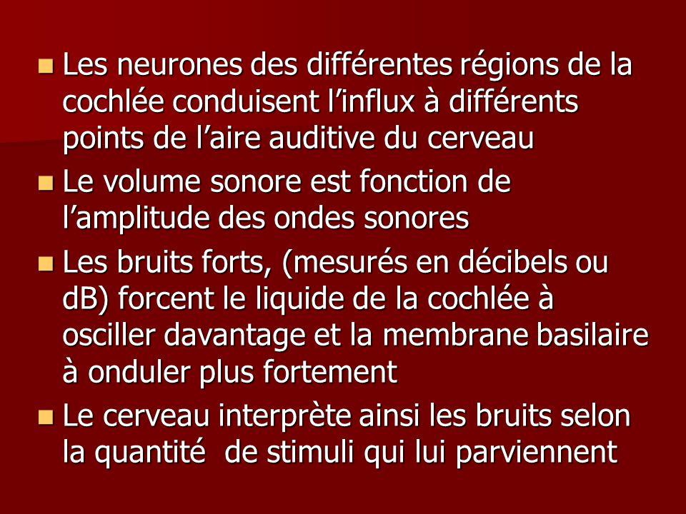Les neurones des différentes régions de la cochlée conduisent linflux à différents points de laire auditive du cerveau Les neurones des différentes régions de la cochlée conduisent linflux à différents points de laire auditive du cerveau Le volume sonore est fonction de lamplitude des ondes sonores Le volume sonore est fonction de lamplitude des ondes sonores Les bruits forts, (mesurés en décibels ou dB) forcent le liquide de la cochlée à osciller davantage et la membrane basilaire à onduler plus fortement Les bruits forts, (mesurés en décibels ou dB) forcent le liquide de la cochlée à osciller davantage et la membrane basilaire à onduler plus fortement Le cerveau interprète ainsi les bruits selon la quantité de stimuli qui lui parviennent Le cerveau interprète ainsi les bruits selon la quantité de stimuli qui lui parviennent