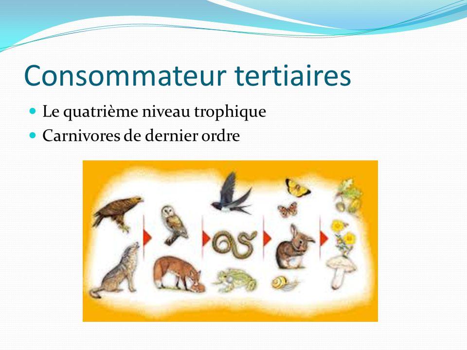 Consommateur tertiaires Le quatrième niveau trophique Carnivores de dernier ordre