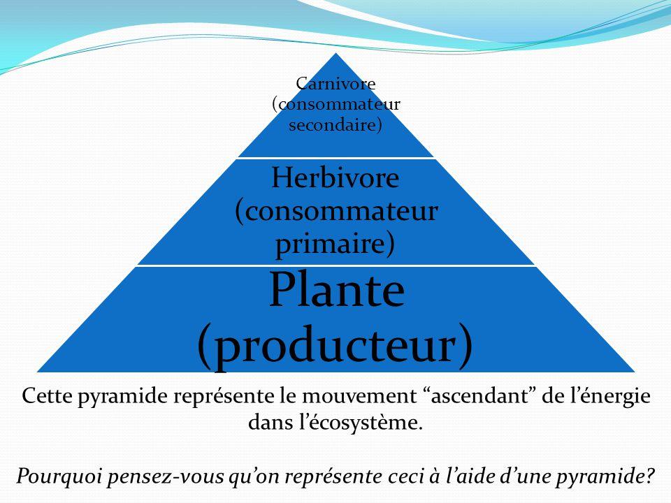 Carnivore (consommateur secondaire) Herbivore (consommateur primaire) Plante (producteur) Cette pyramide représente le mouvement ascendant de lénergie