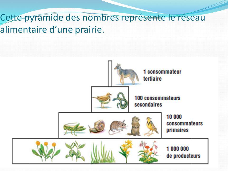 Cette pyramide des nombres représente le réseau alimentaire dune prairie.