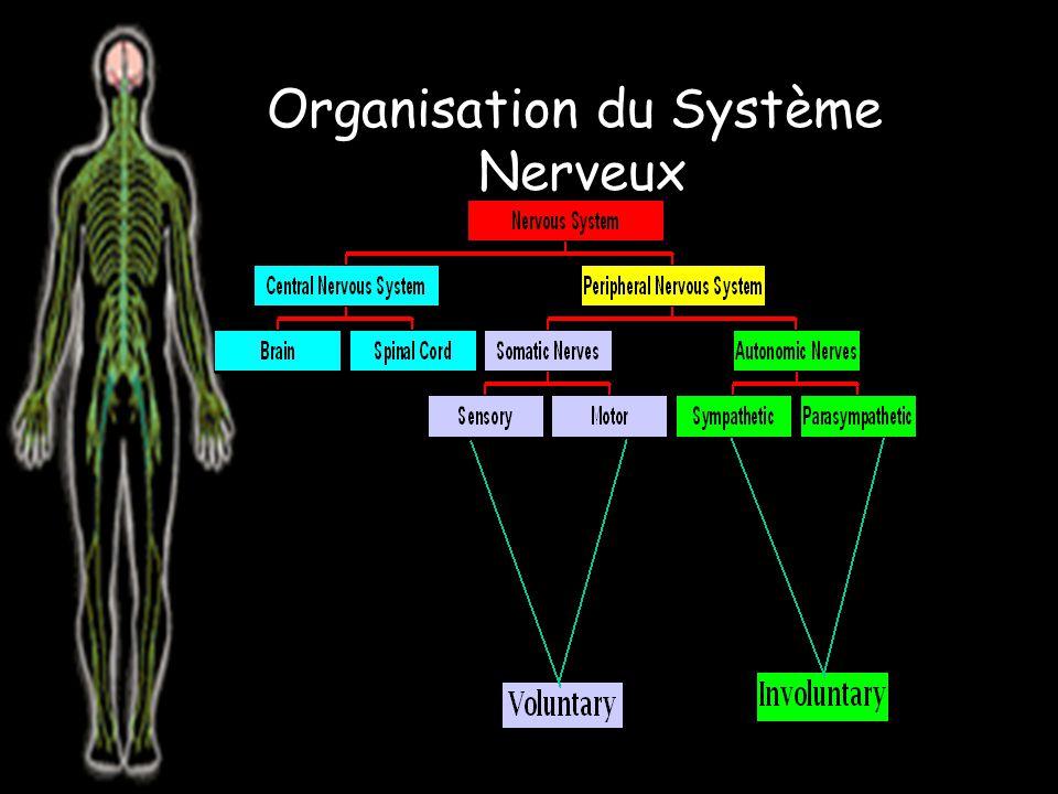 Il y a 12 paires de nerfs crâniens attachés au cerveau et 31 paires de nerfs spinal attachés au moelle épinière.