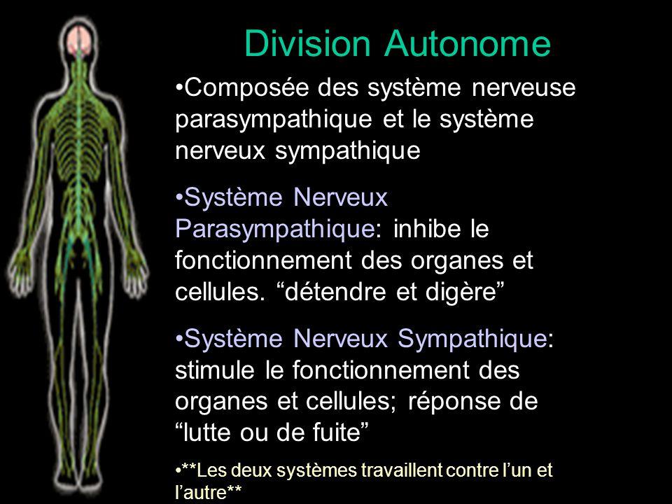 Division Somatique Le contrôle volontaire Inclue les sens et les muscles