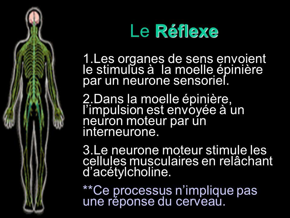 Réflexe Le Réflexe Une réponse involontaire (automatique) à un stimulus La réponse est faite sans la connaissance du SNC Controllé par le système sensoriel-somatique