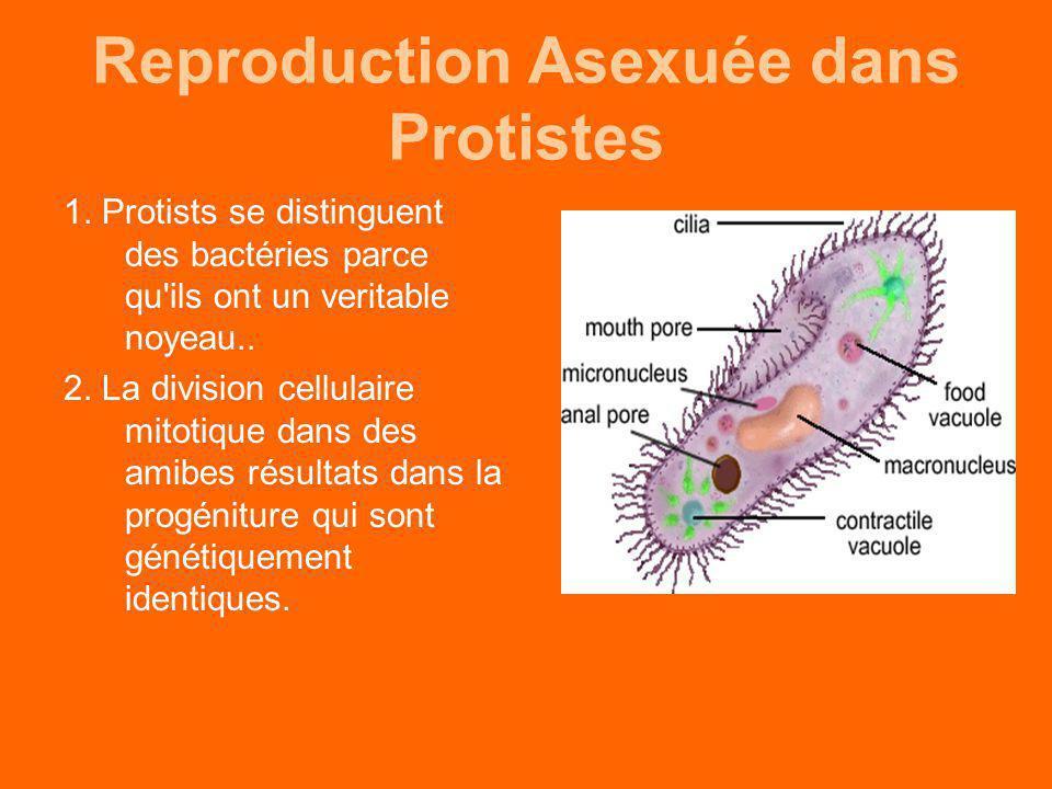 Reproduction Asexuée dans Protistes 1. Protists se distinguent des bactéries parce qu'ils ont un veritable noyeau.. 2. La division cellulaire mitotiqu