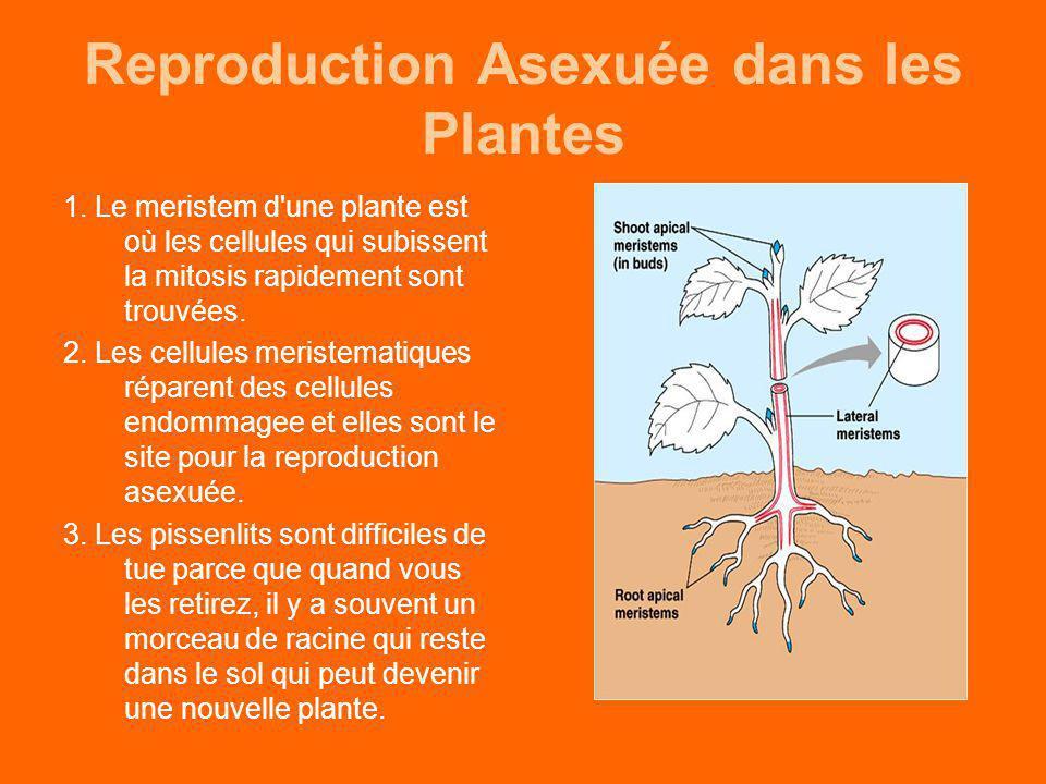 Reproduction Asexuée dans les Plantes 1. Le meristem d'une plante est où les cellules qui subissent la mitosis rapidement sont trouvées. 2. Les cellul