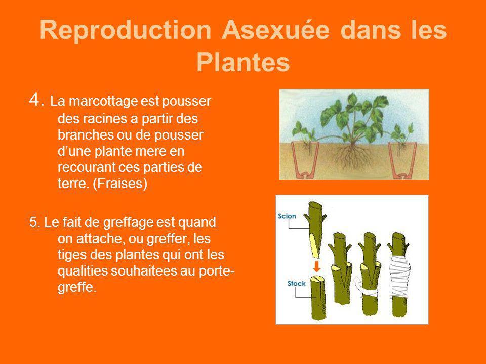 Reproduction Asexuée dans les Plantes 4. La marcottage est pousser des racines a partir des branches ou de pousser dune plante mere en recourant ces p