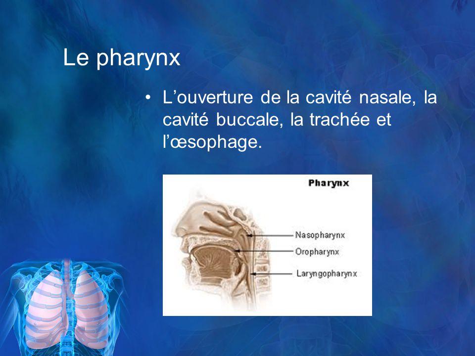 Le pharynx Louverture de la cavité nasale, la cavité buccale, la trachée et lœsophage.