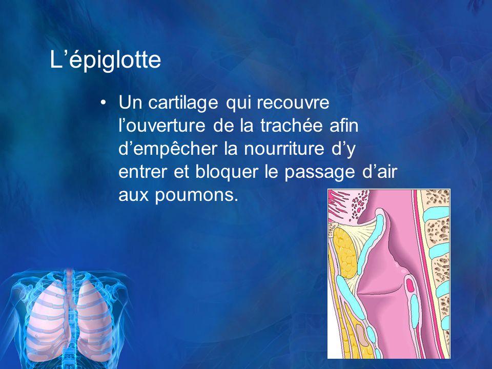 Lépiglotte Un cartilage qui recouvre louverture de la trachée afin dempêcher la nourriture dy entrer et bloquer le passage dair aux poumons.