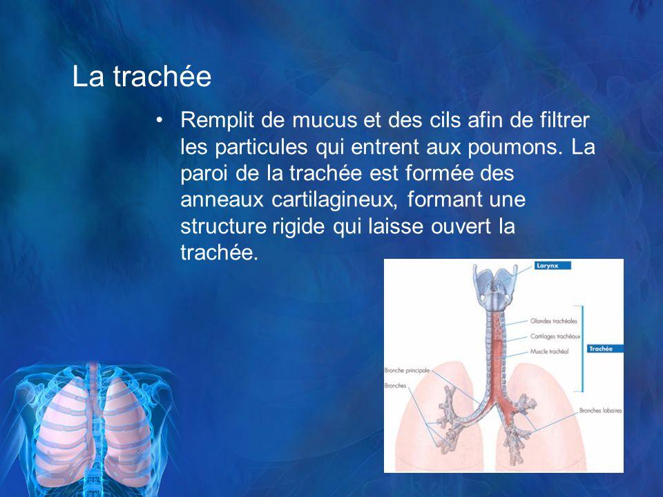La trachée Remplit de mucus et des cils afin de filtrer les particules qui entrent aux poumons.