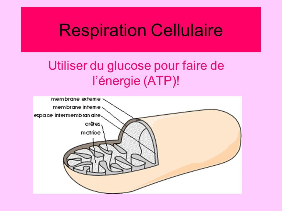 Respiration Cellulaire Utiliser du glucose pour faire de lénergie (ATP)!