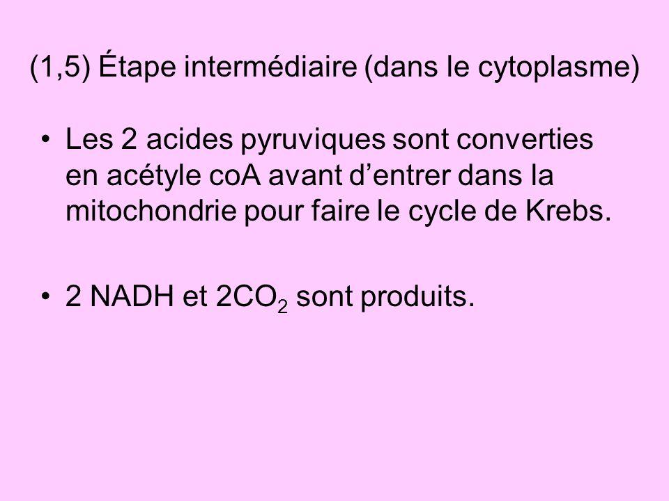 Les 2 acides pyruviques sont converties en acétyle coA avant dentrer dans la mitochondrie pour faire le cycle de Krebs. 2 NADH et 2CO 2 sont produits.