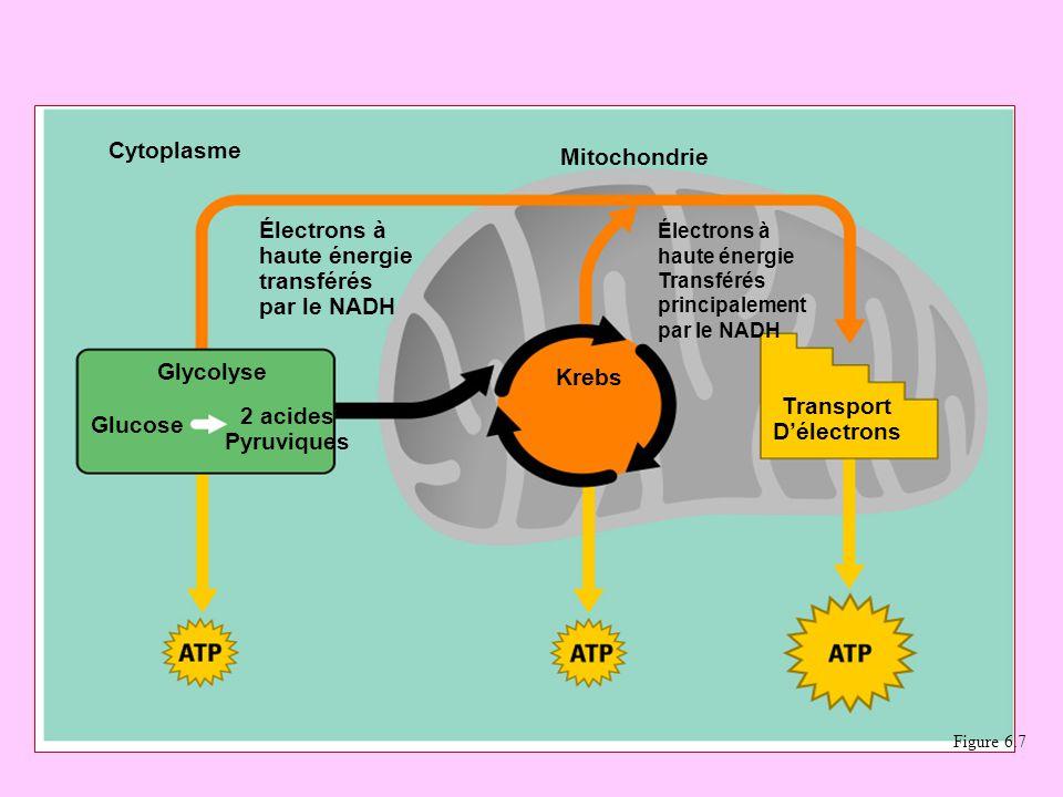 Une carte de route pour la Respiration Cellulaire Cytoplasme Mitochondrie Électrons à haute énergie transférés par le NADH Glycolyse Glucose 2 acides