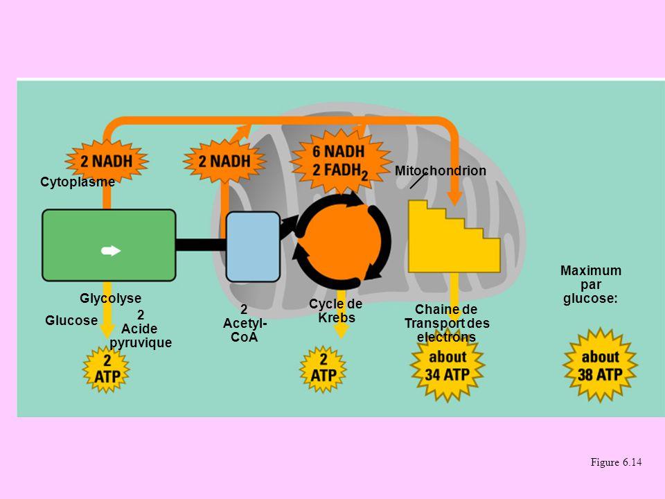 Figure 6.14 Cytoplasme Mitochondrion Glycolyse Glucose 2 Acide pyruvique 2 Acetyl- CoA Cycle de Krebs Chaine de Transport des electrons Maximum par gl