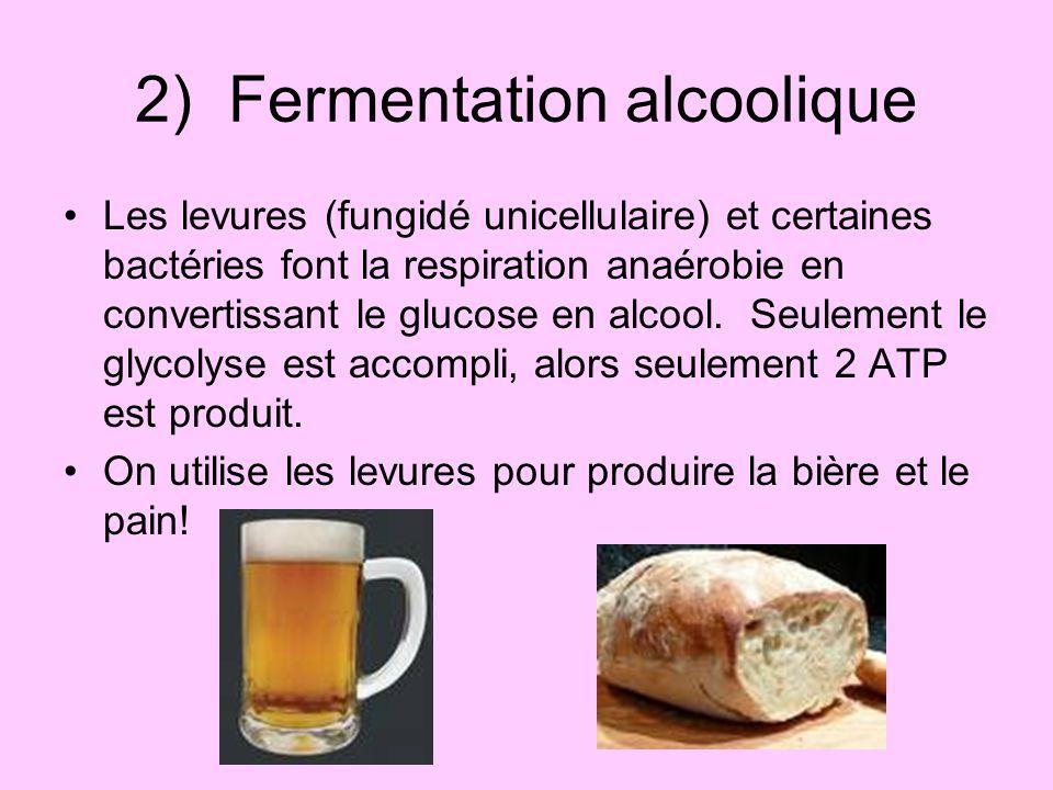 2) Fermentation alcoolique Les levures (fungidé unicellulaire) et certaines bactéries font la respiration anaérobie en convertissant le glucose en alc