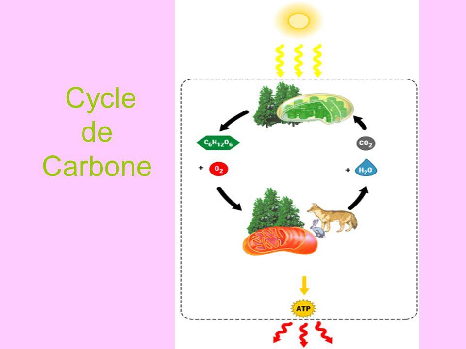 Résumé du cycle de carbone… Le dioxyde de carbone est retiré de latmosphère par la photosynthèse (rxn endothermique).