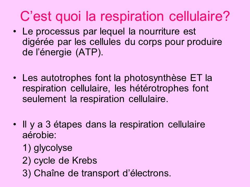 Cest quoi la respiration cellulaire? Le processus par lequel la nourriture est digérée par les cellules du corps pour produire de lénergie (ATP). Les