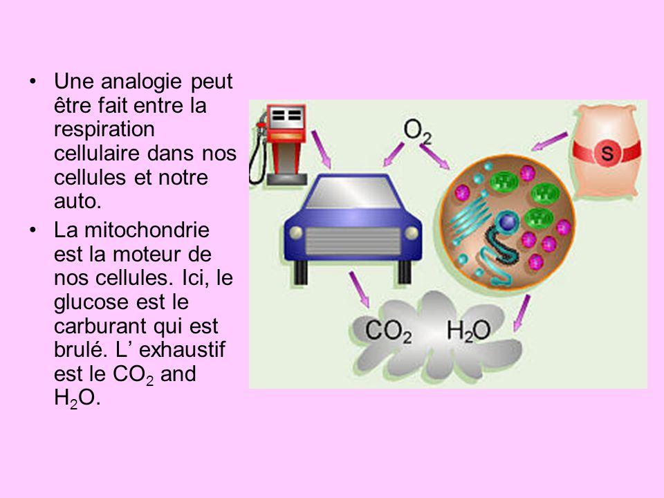 Une analogie peut être fait entre la respiration cellulaire dans nos cellules et notre auto. La mitochondrie est la moteur de nos cellules. Ici, le gl