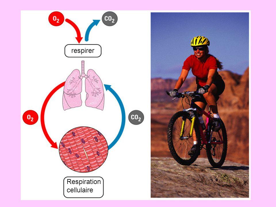 Figure 6.14 Cytoplasme Mitochondrion Glycolyse Glucose 2 Acide pyruvique 2 Acetyl- CoA Cycle de Krebs Chaine de Transport des electrons Maximum par glucose: