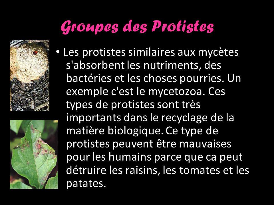 Groupes des Protistes Les protistes similaires aux mycètes s absorbent les nutriments, des bactéries et les choses pourries.