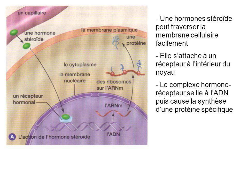 - Une hormones stéroïde peut traverser la membrane cellulaire facilement - Elle sattache à un récepteur à lintérieur du noyau - Le complexe hormone- r