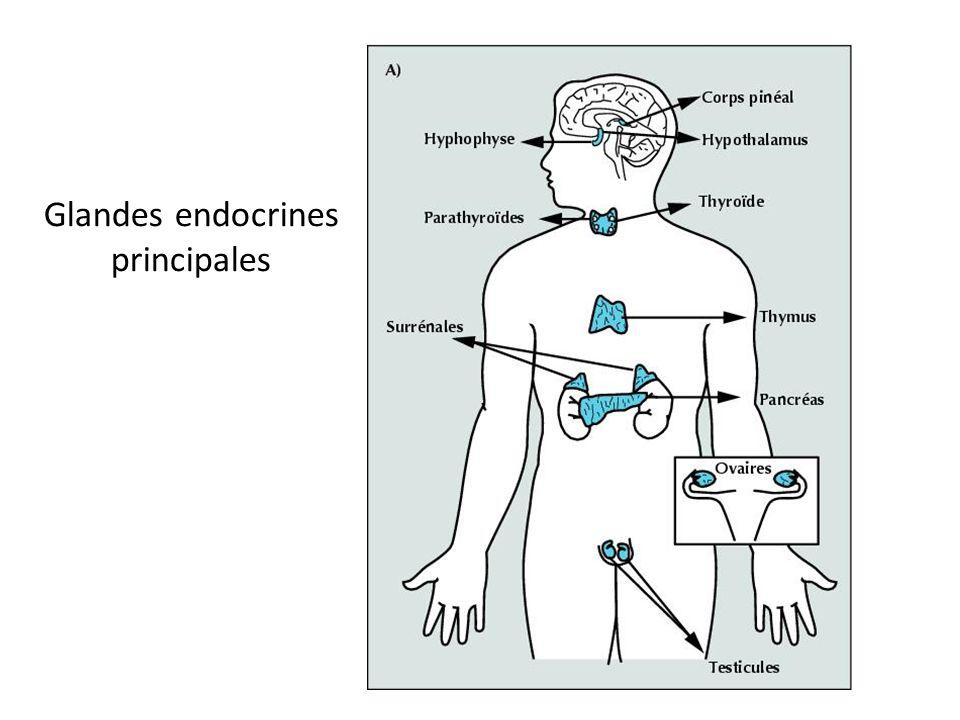 Deux catégories de glandes Glandes exocrines Libèrent les hormones par des conduits ou canaux Ex: Glandes sudoripares, lacrymales, salivaires Glandes endocrines Libèrent les hormones directement dans le sang Ex: Hypophyse, pancréas, thyroïde