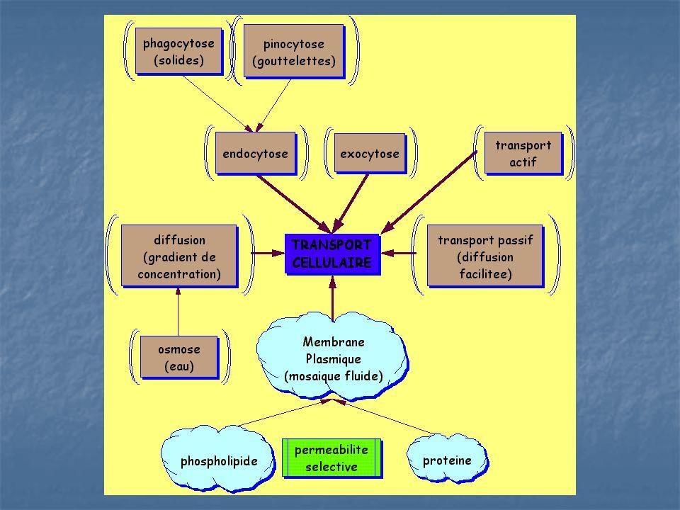 La digestion lysosomiale Chez les cellules eucaryotes Chez les cellules eucaryotes Contient 40+ enzymes digestives Contient 40+ enzymes digestives Lappareil de Golgi produit le lysosome puis ils acceptent des H+ par transport actif et lintérieur devient plus acide Lappareil de Golgi produit le lysosome puis ils acceptent des H+ par transport actif et lintérieur devient plus acide Le milieu acide active ses enzymes Le milieu acide active ses enzymes