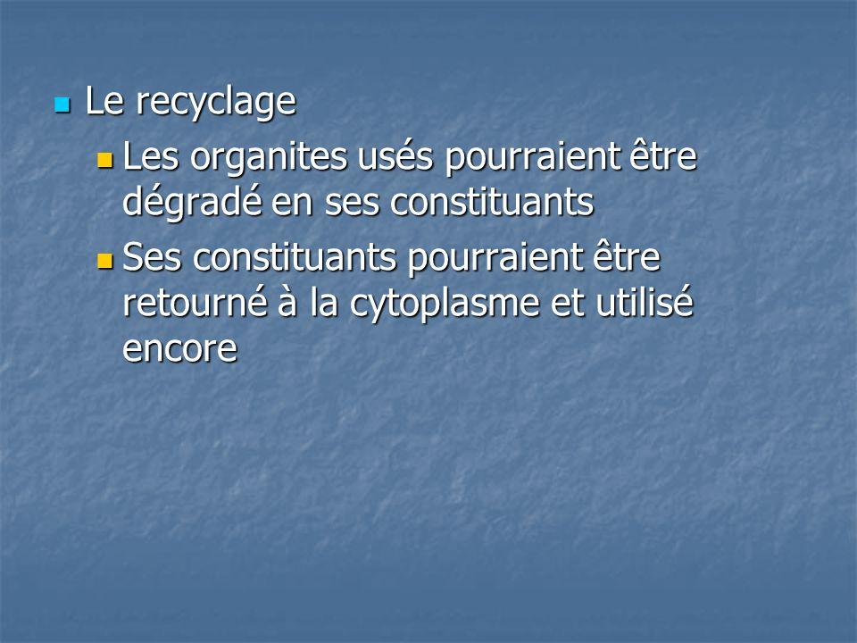 Le recyclage Le recyclage Les organites usés pourraient être dégradé en ses constituants Les organites usés pourraient être dégradé en ses constituant
