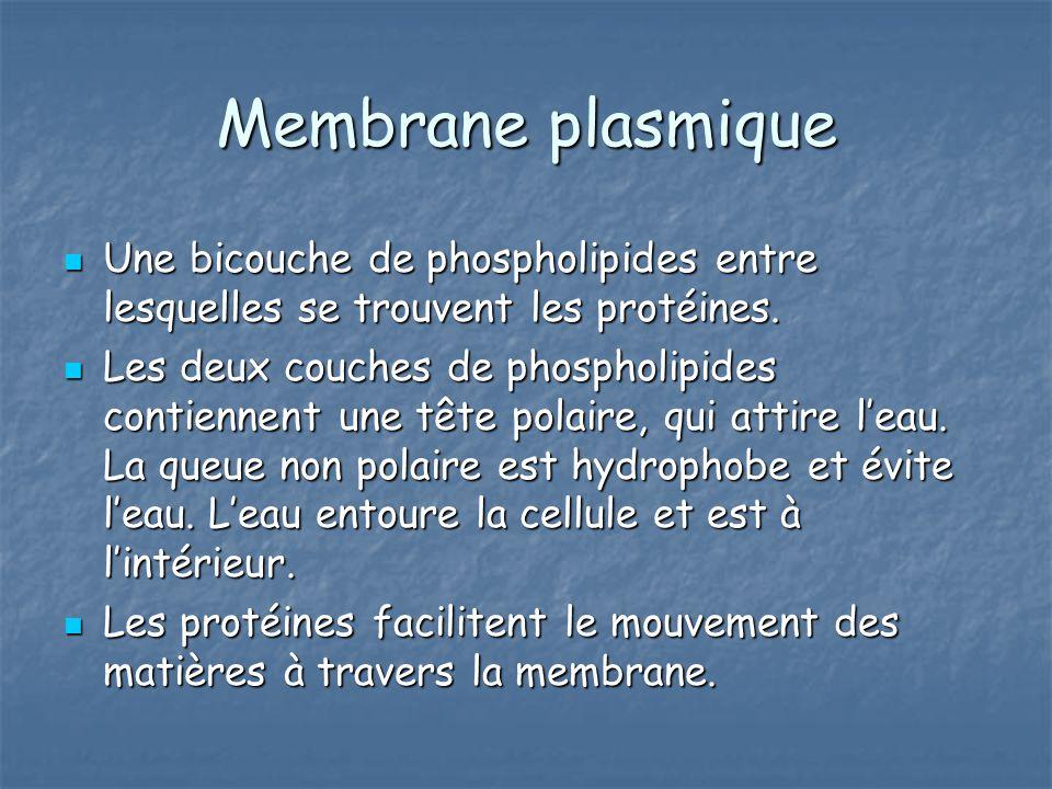 Membrane plasmique Une bicouche de phospholipides entre lesquelles se trouvent les protéines. Une bicouche de phospholipides entre lesquelles se trouv