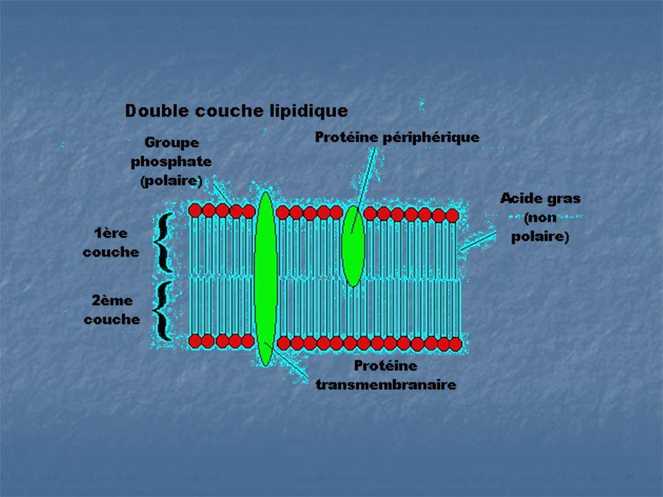 Mosaïque fluide La membrane plasmique est une structure fluide qui est libre de changer de position.