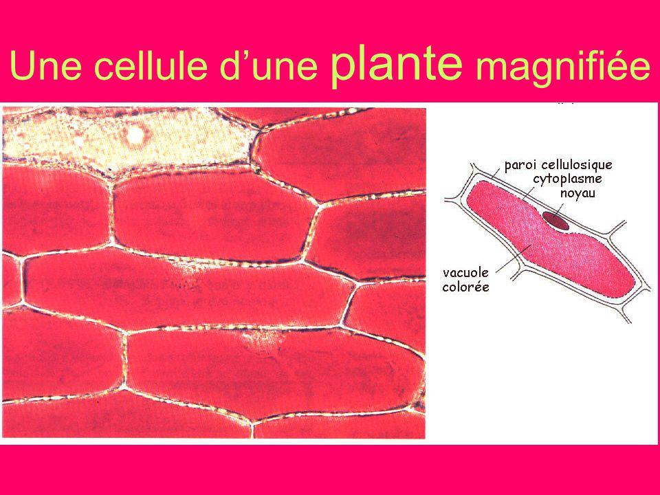 Une cellule dune plante magnifiée