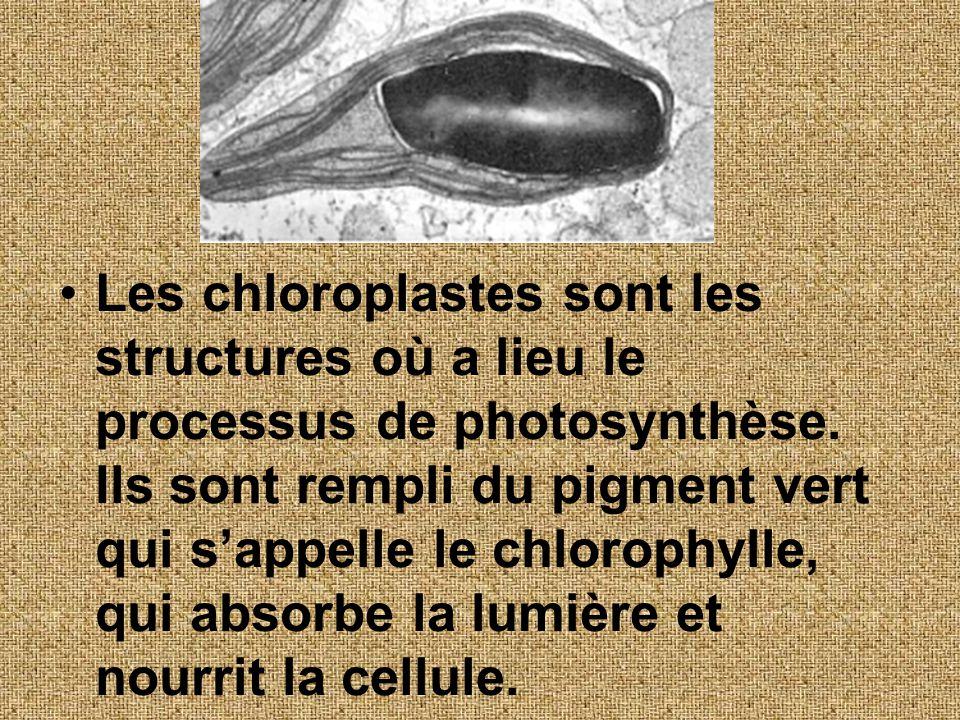 Les chloroplastes sont les structures où a lieu le processus de photosynthèse. Ils sont rempli du pigment vert qui sappelle le chlorophylle, qui absor