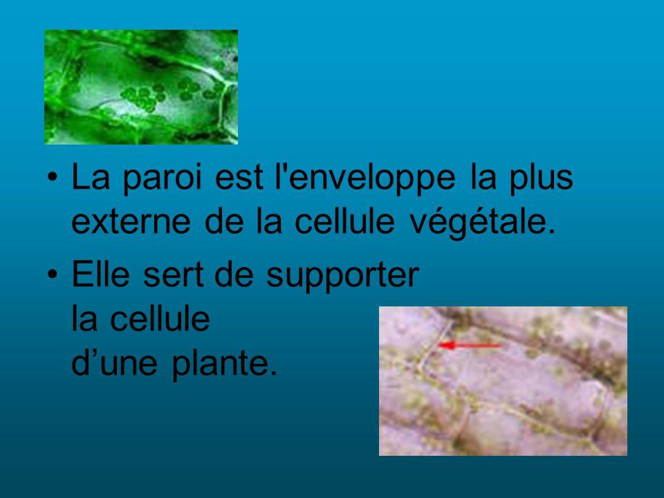 La paroi est l'enveloppe la plus externe de la cellule végétale. Elle sert de supporter la cellule dune plante.