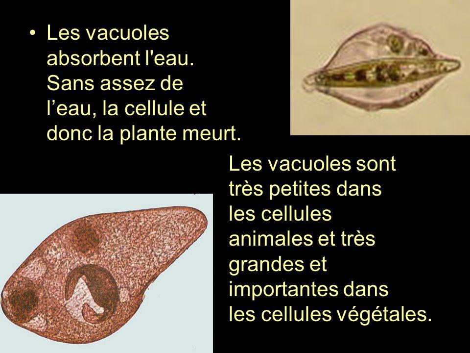 Les vacuoles absorbent l'eau. Sans assez de leau, la cellule et donc la plante meurt. Les vacuoles sont très petites dans les cellules animales et trè